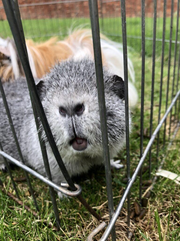 Henry, Guinea pig, Pet, Silent Sunday, My Sunday Photo