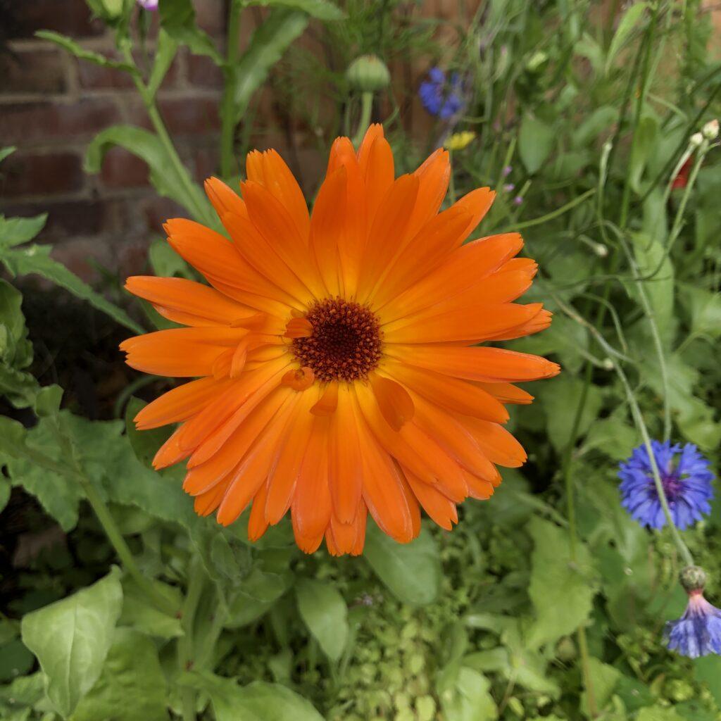 Flower, orange flower, garden, 366