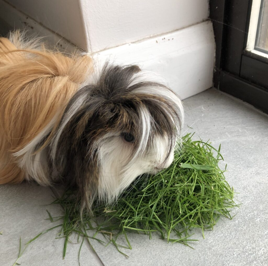 Cedric, Guinea pig, Pet, Silent Sunday, My Sunday Photo