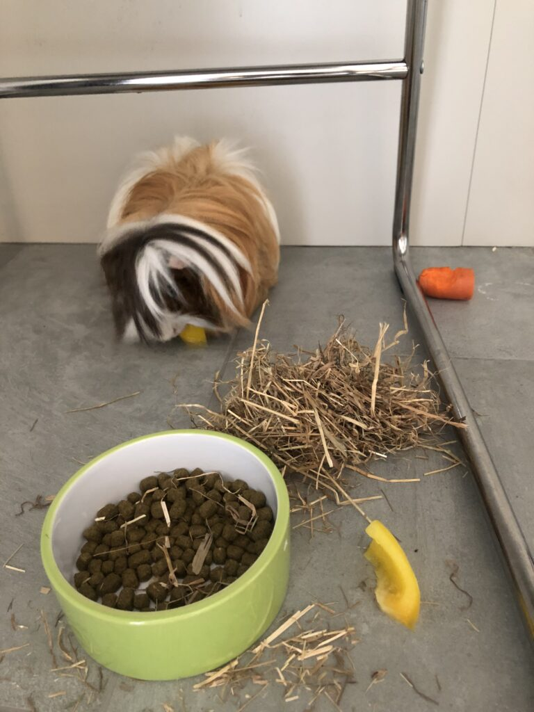 Cedric, Guinea pig, Kitchen, Food, Worrying about Cedric