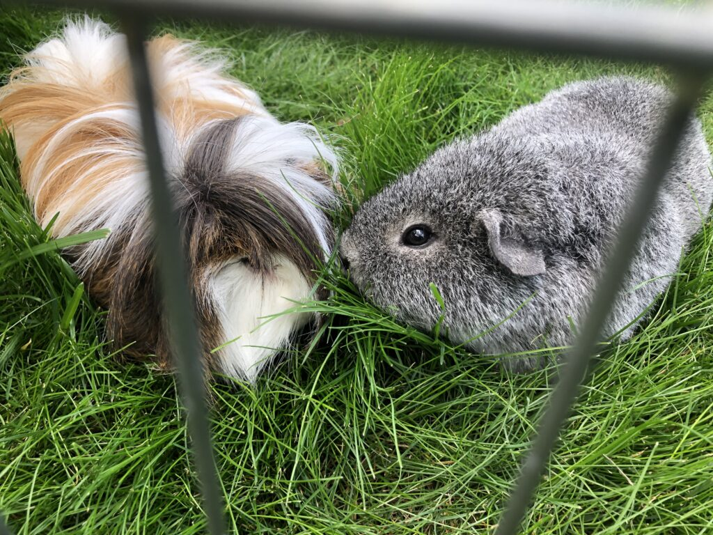 Cedric, Henry, Guinea pigs, Worrying about Cedric