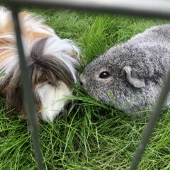 Guinea pigs, grief and why I can't have a dog