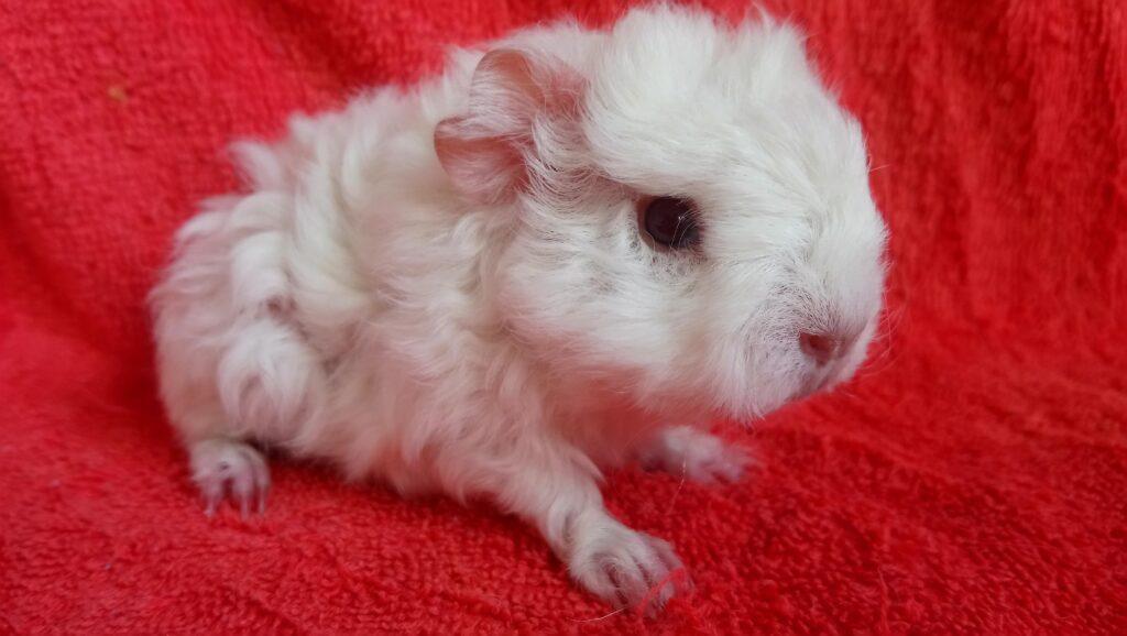 Baby guinea pig, White guinea pig, Pet, Guinea pig