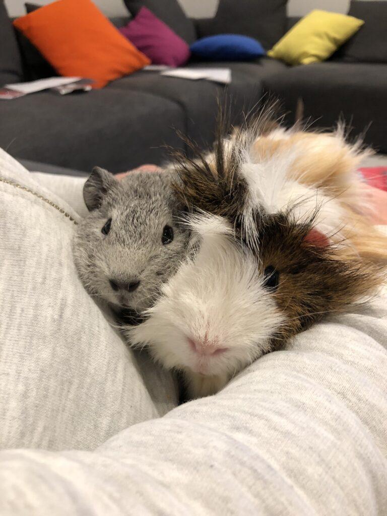 Cedric, Henry, Guinea pigs, Pets