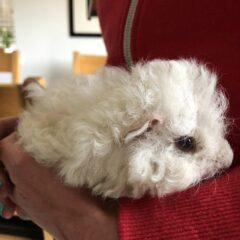 Introducing Herbert the guinea pig