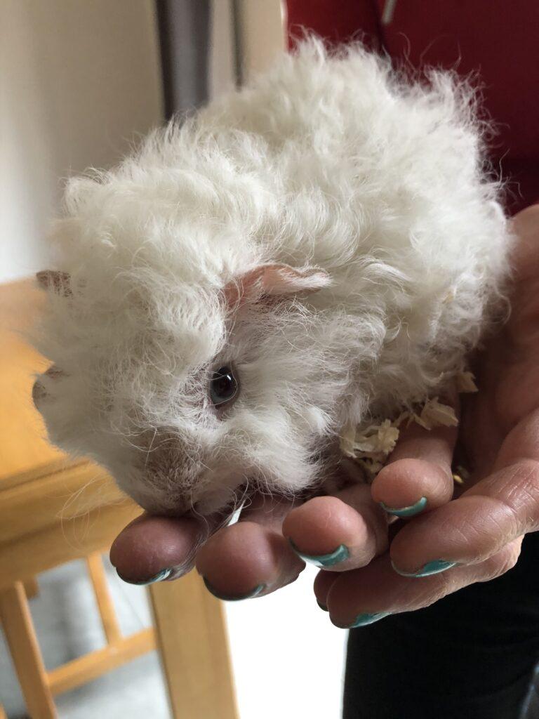 Herbert, Guinea pig, Pet, Baby guinea pig, Silent Sunday, My Sunday Photo, Year 2020