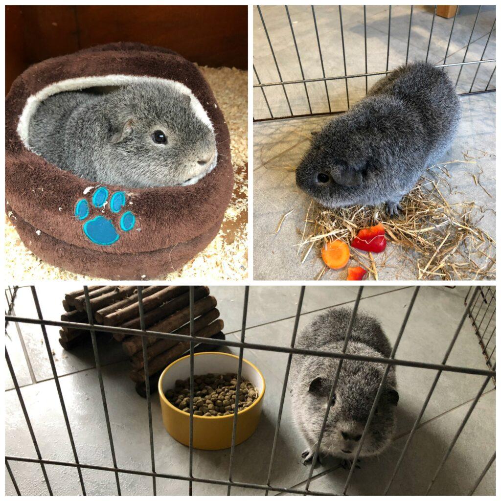 Henry, Guinea pig, Pet, Lonely guinea pig