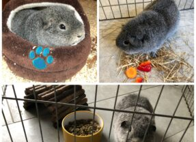 Henry the lonely guinea pig