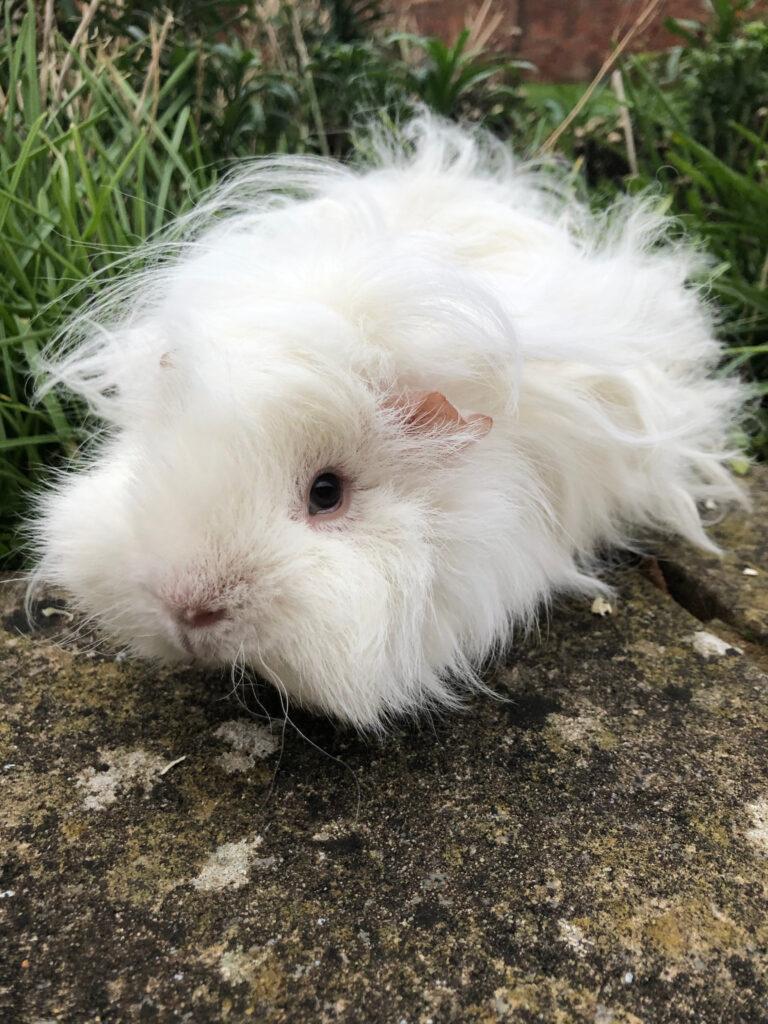Guinea pig, Pet, Herbert, Silent Sunday, My Sunday Photo
