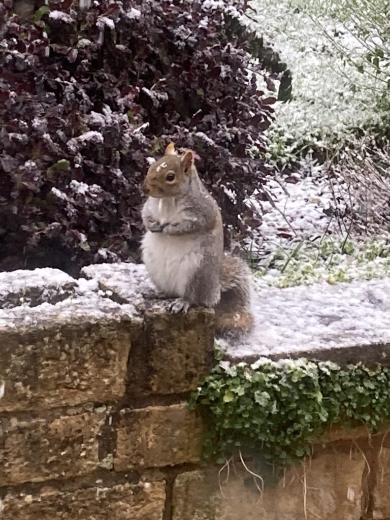 Squirrel, Squirrels, Snow, Squirrel in the snow