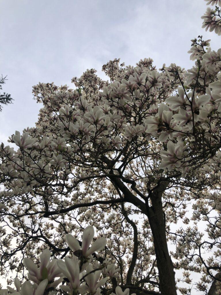Blossom, Magnolia, Magnolia tree, Silent Sunday, My Sunday Photo