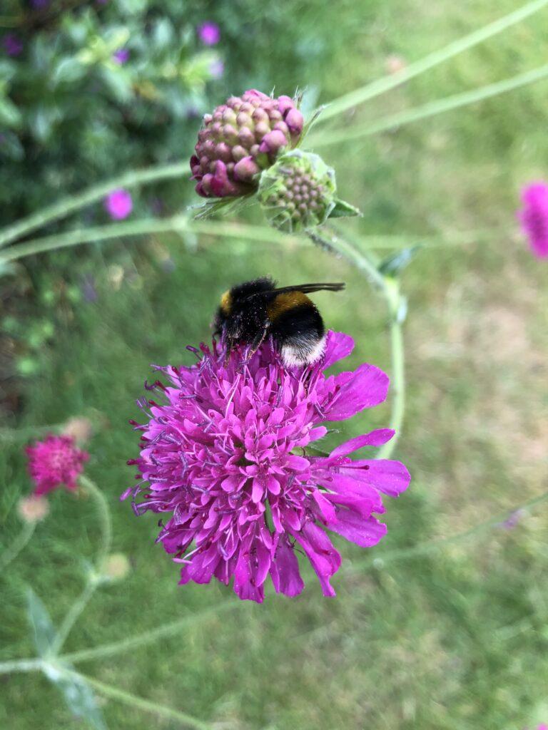 Knautia macedonia, Flowers, Pink flowers, Garden, Bee, Silent Sunday, My Sunday Photo