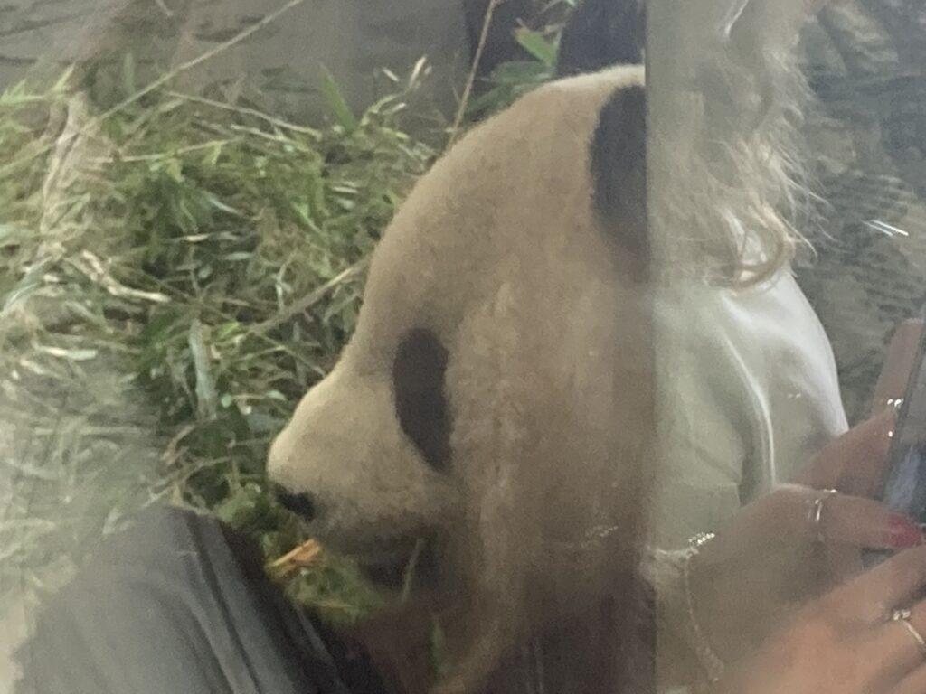 Panda, Yang Guang, Edinburgh Zoo, Edinburgh, Scotland, City break, Holiday