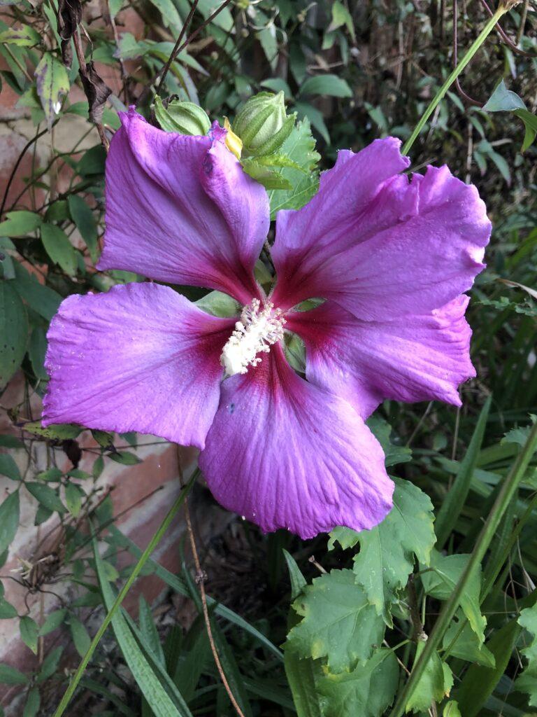 HIbiscus, Flower, Garden, Silent Sunday, My Sunday Photo