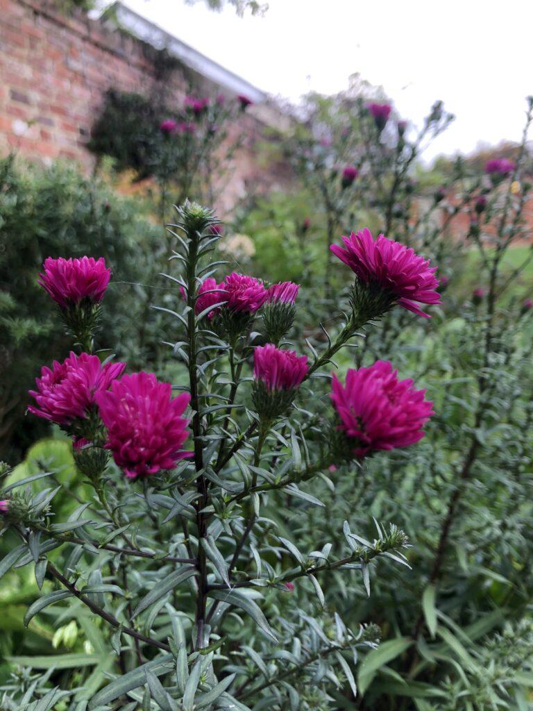 Flowers, Garden, Autumn, Silent Sunday, My Sunday Photo